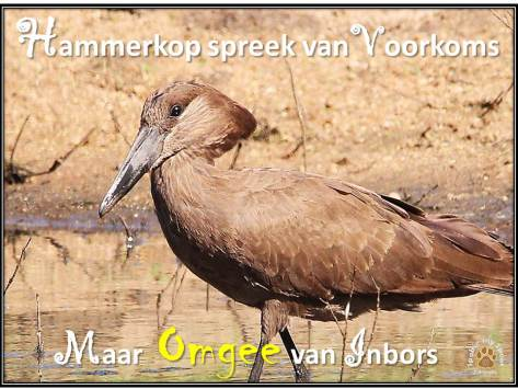 Hamerkop wysheid inbors