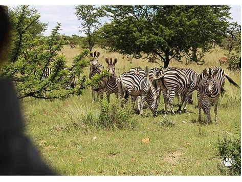 turksvy-zebras